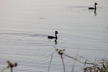 hurried: Ducks on a pond