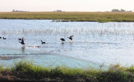hurried: Ducks flying on a pond Stock Photo