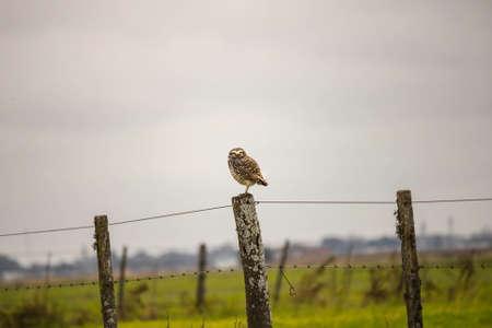 burrow owl on a stick