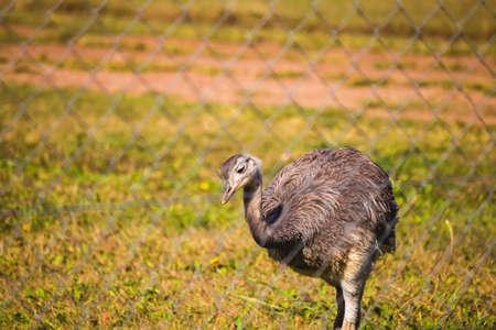 rhea: Rhea Bird Stock Photo