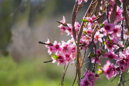 peach tree: flowering peach tree Stock Photo
