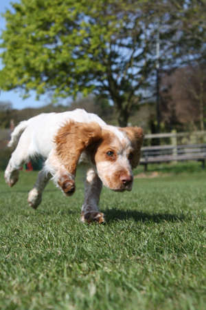 puppy running photo