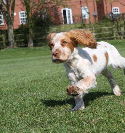 puppy running with ears flapping photo