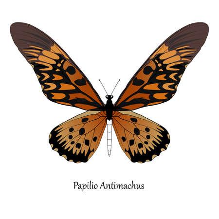 Illustration of Giant African Swallowtail - Papilio antimachus. Vettoriali