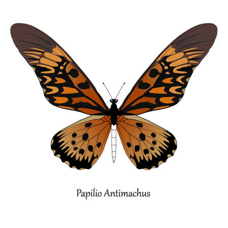 Illustration of Giant African Swallowtail - Papilio antimachus. Illustration