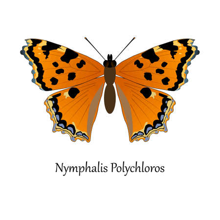 nymphalidae: Illustration of European Swallowtail Butterfly - Nymphalis Polychloros.
