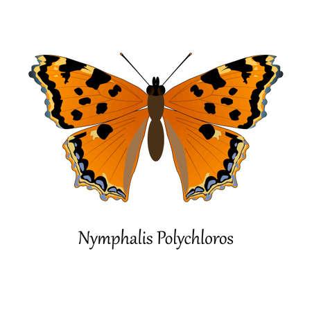 Illustration of European Swallowtail Butterfly - Nymphalis Polychloros.