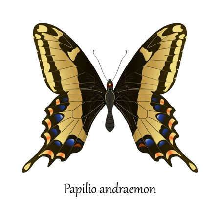 insecta: Illustration of American Bahamas Swallowtail Butterfly - Papilio Andraemon