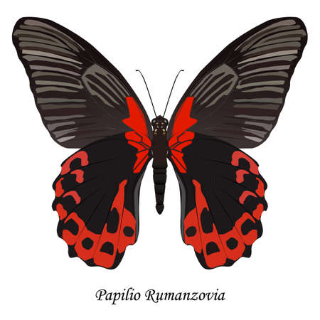 Illustration of Indonesia Swallowtail Butterfly - Papilio Rumanzovia. Иллюстрация