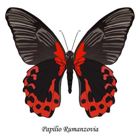 Illustration of Indonesia Swallowtail Butterfly - Papilio Rumanzovia. Vettoriali
