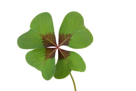 lucky charm: four-leaved clover