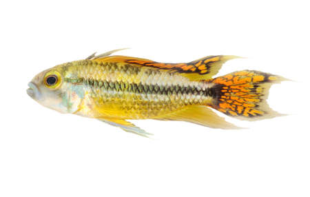apistogramma: colorful swimming cichlid fish