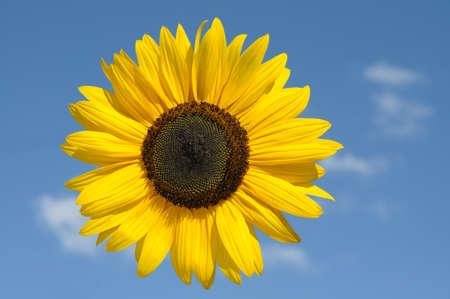 helianthus annuus: sunflower and blue sky