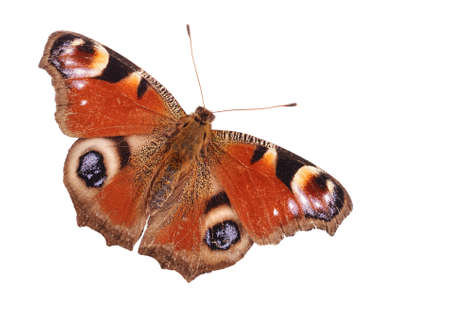 Peacock butterfly closeup Stock Photo - 12543735