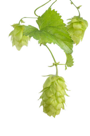 Fresh hop Stock Photo - 24523286
