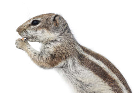 nibble: Squirrel eating a nut Stock Photo