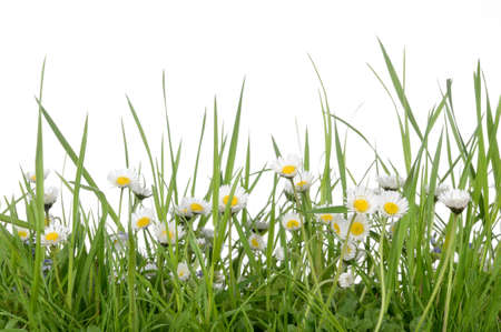 Fresh daisy meadow spring background