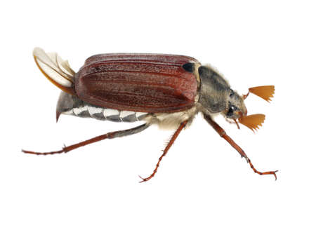 Cockchafer maybug may bug