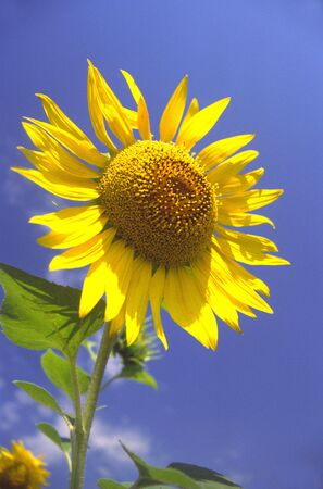 Blossoming sunflower on background of  dark blue sky Stock Photo - 789537