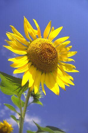 Blossoming sunflower on background of  dark blue sky Stock Photo - 789537