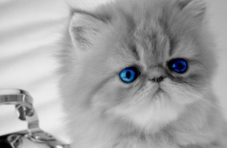 Persian kitten with dark blue eyes looks in the chamber on  grey background Stock Photo