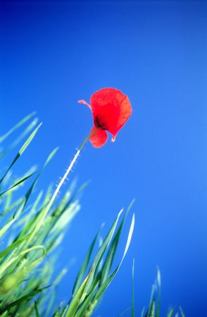 Lonely flower of  red field poppy on  background of  dark blue sky Stock Photo - 862831