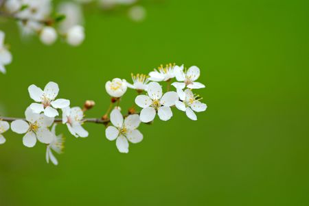 Flowers plums of white color - on  green background,  close up photo