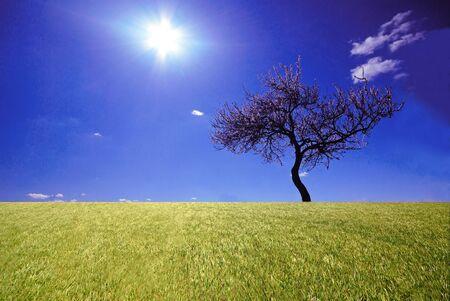 Lonely blossoming tree of  apricot on  background ñîëöà and  sky, April Stock Photo