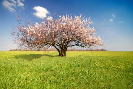 Lonely apricot blossoming tree in green field on background of blue sky, sunny day