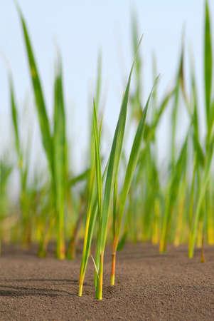 broken through: Green runaways of  cane broken through on  surface of chernozem, spring Stock Photo