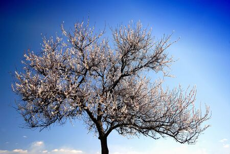 florescence: Lonely blossoming tree of an apricot on  background of  blue sky, spring midday Stock Photo