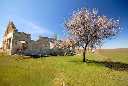 old destroyed rural house and lonely blossoming an apricot, spring midday