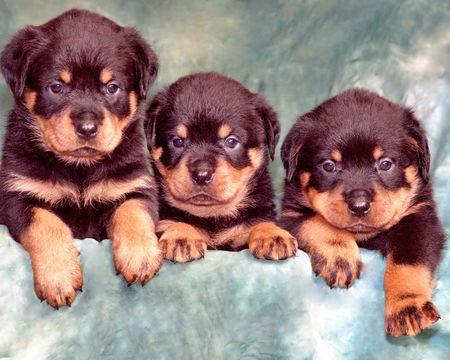 rott: Nice tres peque�os cachorros de la raza Rottweiler sobre fondo verde  Foto de archivo
