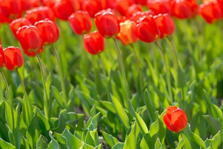 Many red tulips covered by  sunlight Stock Photo