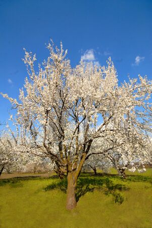 tree covered with white colors plums in  garden, early spring Stock Photo - 915930