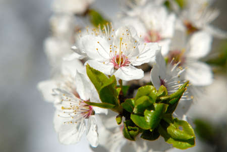 Inflorescence of colors plums,  close up,  spring garden, April Stock Photo - 915932