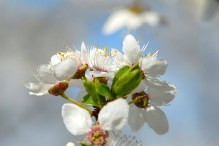 Inflorescence of colors plums,  close up,  spring garden, close-up Stock Photo - 915933