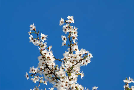 Branch with colors plums on a background of  blue sky, spring day Stock Photo - 915935