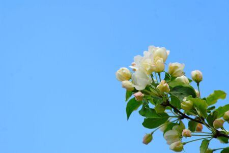 branch with colors of  tree of pear on  background of  blue sky Stock Photo - 938988