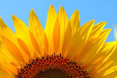 sunflower seed: sunflower, close-up