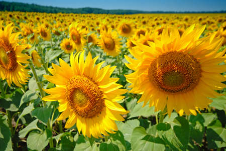 colourfully: sunflower and field
