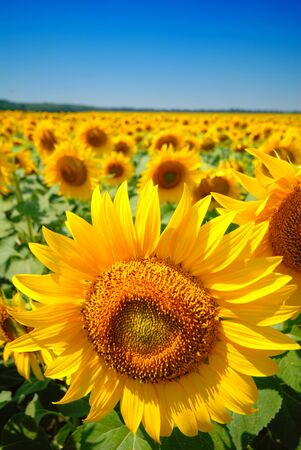 sunflower and field  photo