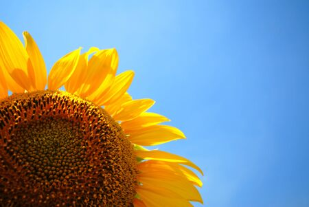 sunflower and sky, close-up Stock Photo - 1364481