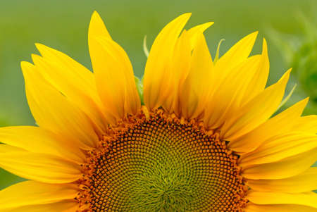 sunflower on  background of  green field photo