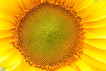 sunflower, summer, close up, day photo