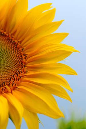 sunflower on  background of sky Stock Photo