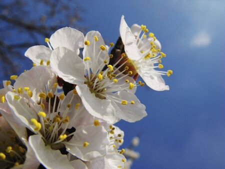 Dismissed flowers apricots on  background of  blue sky, spring photo