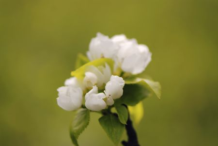 Flowers pear of white color - on  green background,  close up Stock Photo - 2972273