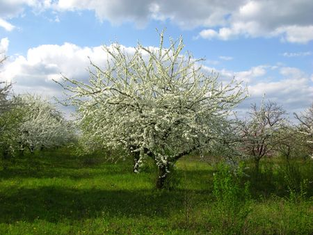 Blossoming spring garden, green grass,  cloudy sky