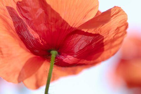 Flower of  red poppy on  light background photo